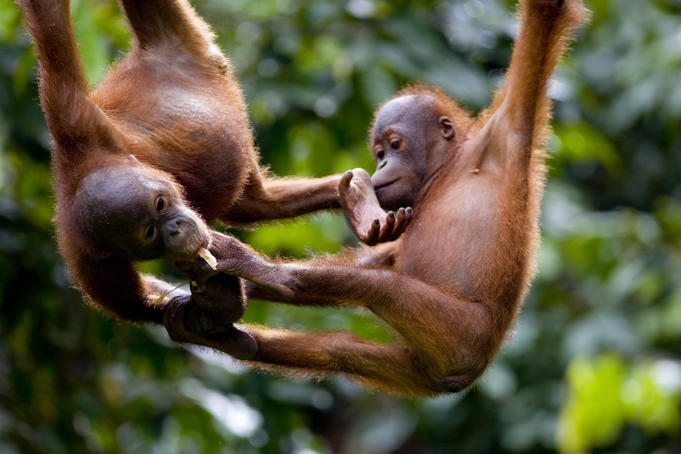 sepilok orangutan rehabillitation center borneo malaysia